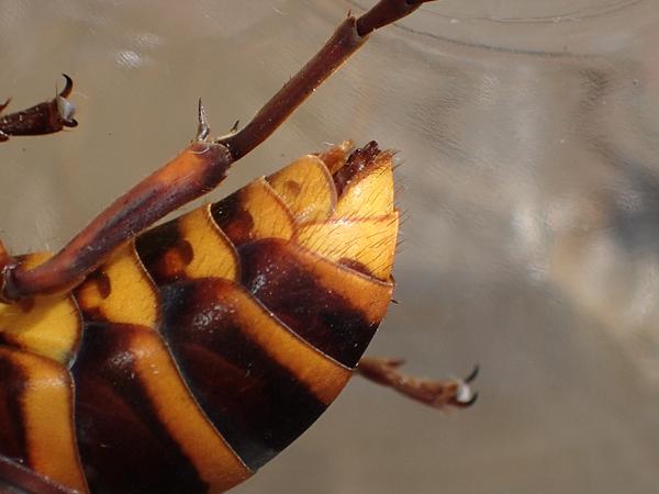 オオスズメバチ♂のお尻