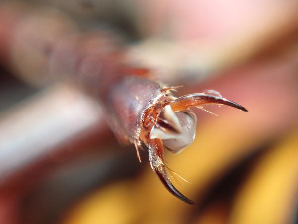 オオスズメバチの脚先