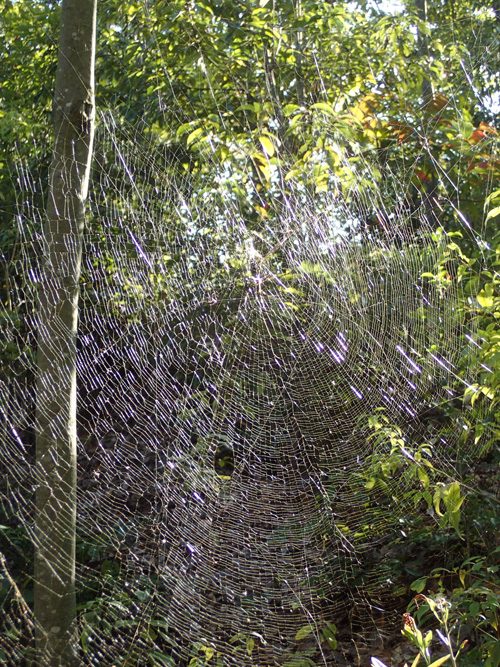 ジョロウグモの蹄形円網