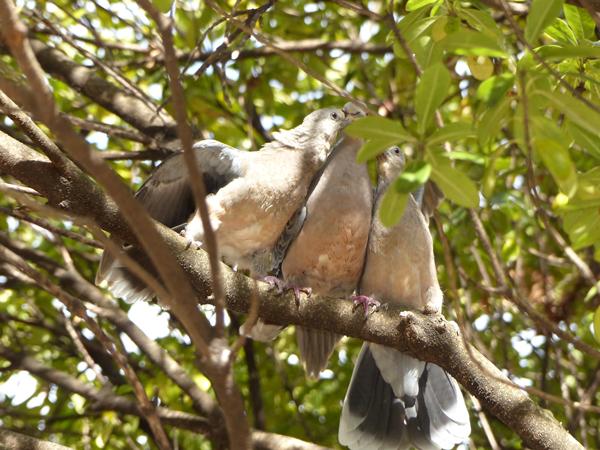 ハトの求愛給餌