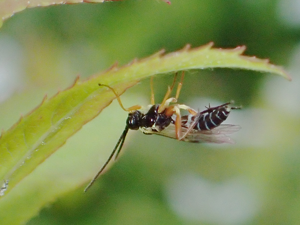 シロスジアブヒメバチ?
