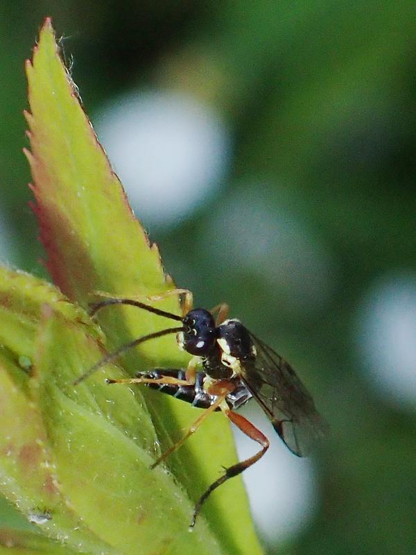 ヒラタアブに寄生する蜂