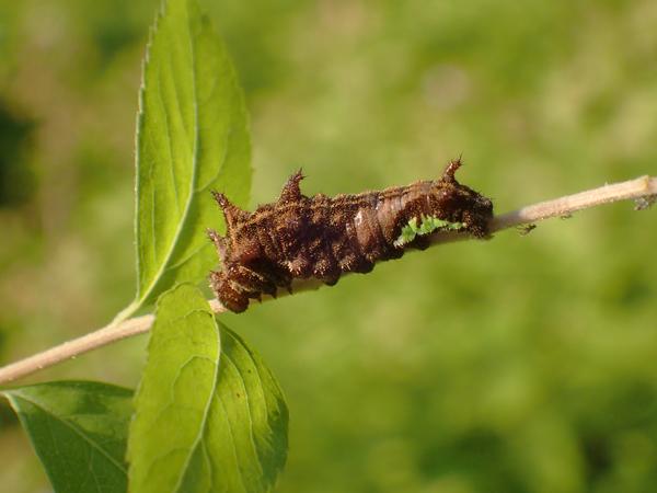 ホシミスジの幼虫横から