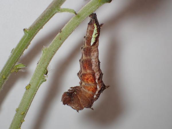 ホシミスジの前蛹