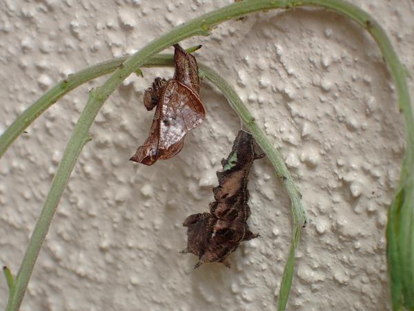 ホシミスジの前蛹と蛹