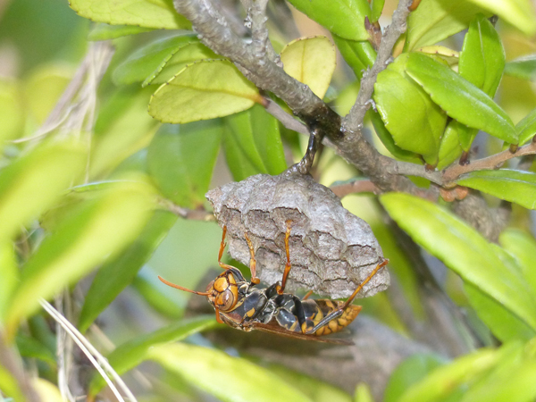 セグロアシナガバチの巣_作り始め