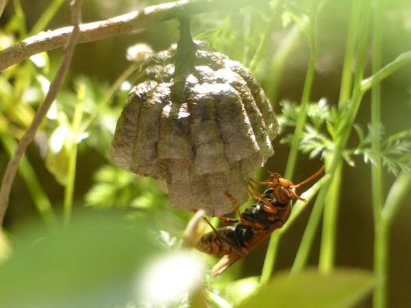 セグロアシナガバチの巣