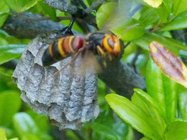 セグロアシナガバチの巣にヒメスズメバチ
