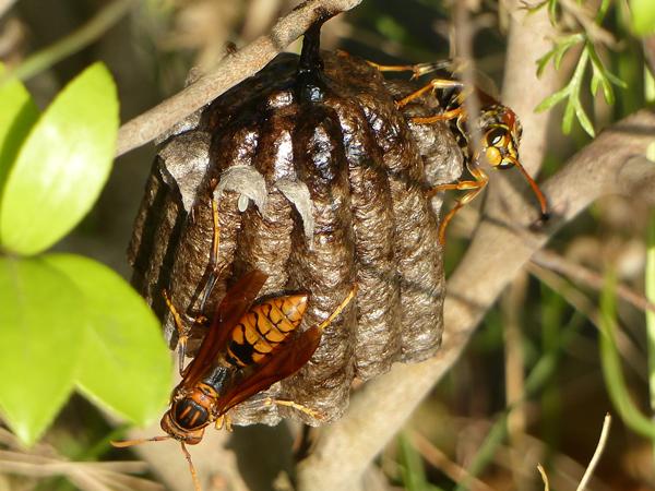 セグロアシナガバチの巣_卵