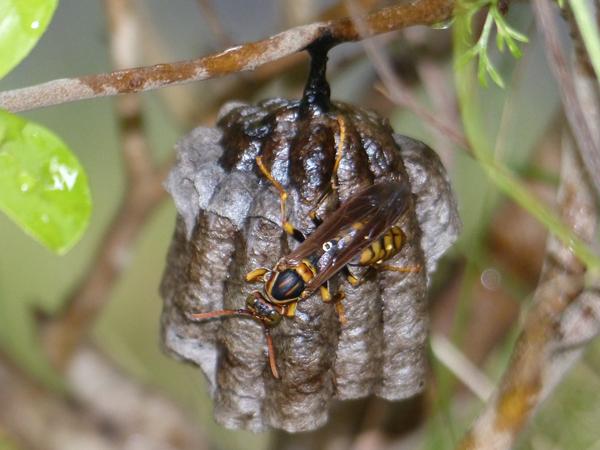 セグロアシナガバチの巣_卵が隠れた