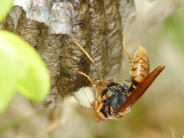 セグロアシナガバチの巣_さなぎ