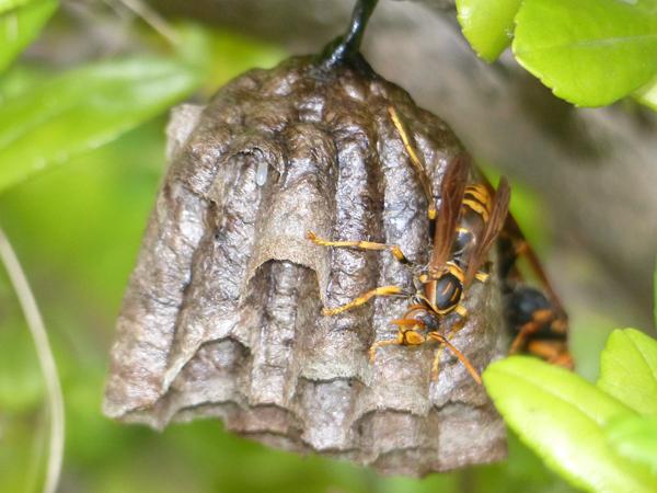 セグロアシナガバチの巣_現在