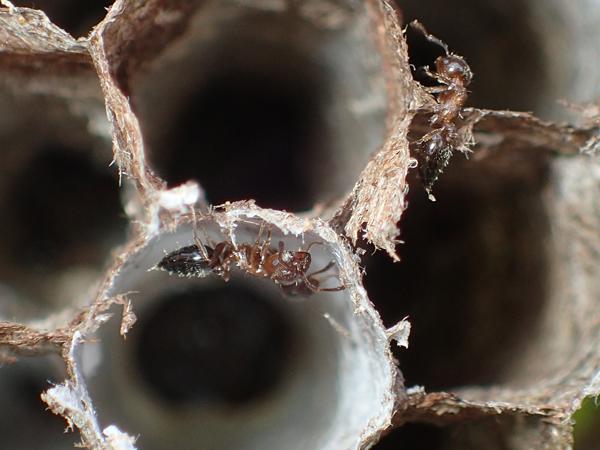 セグロアシナガバチの巣のハリブトシリアゲアリ