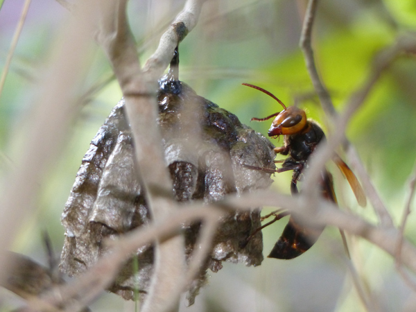セグロアシナガバチを襲うヒメスズメバチ
