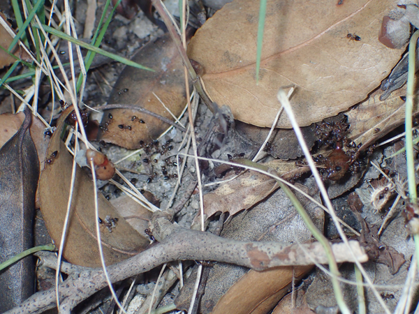 巣の下のハリブトシリアゲアリ