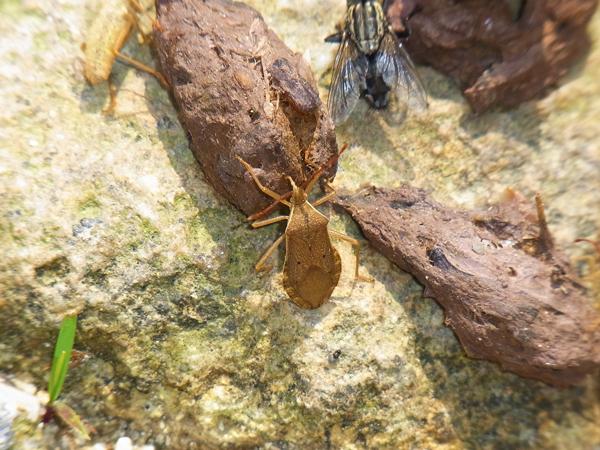 フンに集まるホシハラビロヘリカメムシ