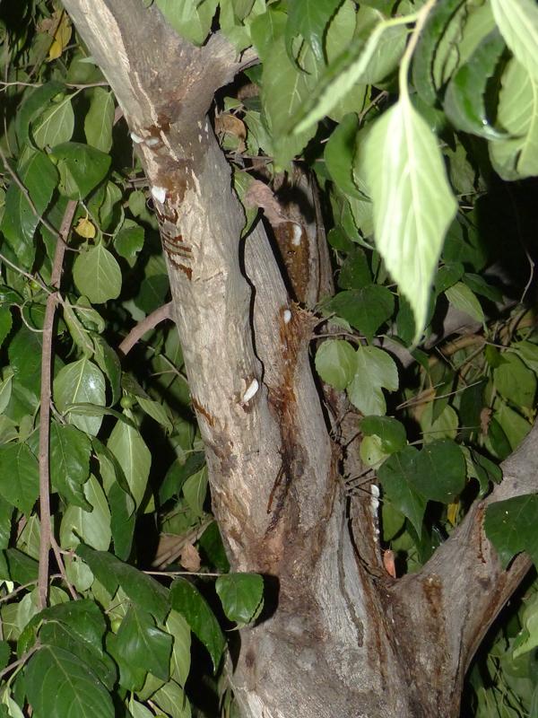 樹液を出すムクノキ