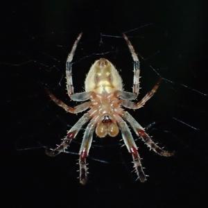 コゲチャオニグモ?♂