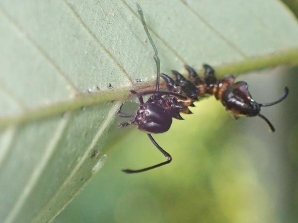 ヒメシャチホコ幼虫
