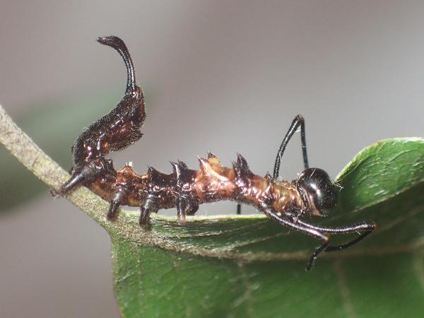 ヒメシャチホコ幼虫 食事中