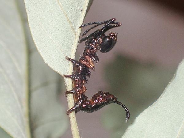 ヒメシャチホコ幼虫 横から