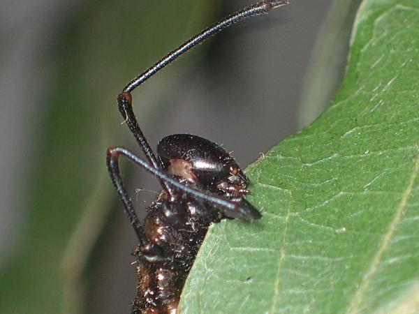 ヒメシャチホコ幼虫 顔