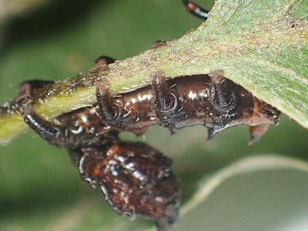 ヒメシャチホコ幼虫 腹脚
