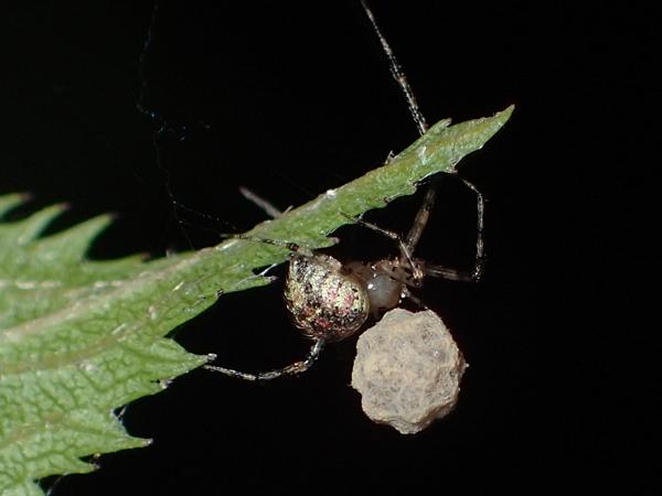 卵のうを守るムナボシヒメグモ?