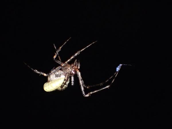 寄生されたムナボシヒメグモ