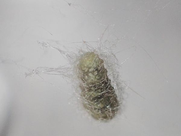 寄生蜂のまゆ