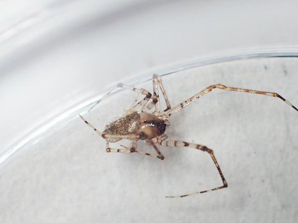 ムナボシヒメグモ