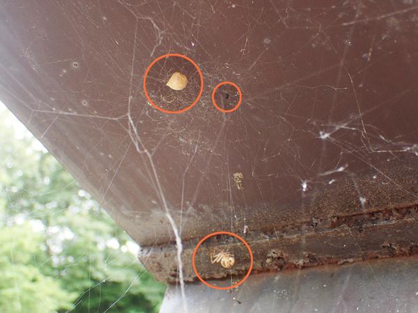 オオヒメグモの網にクロマルイソウロウグモ