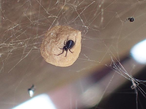 クロマルイソウロウグモとシロカネイソウロウグモ