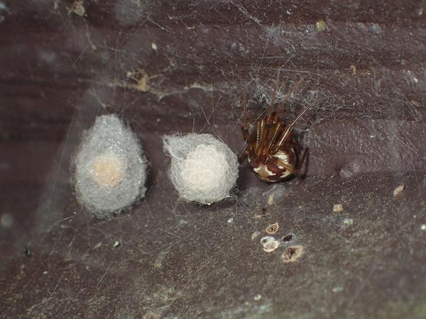 マダラヒメグモと卵のう