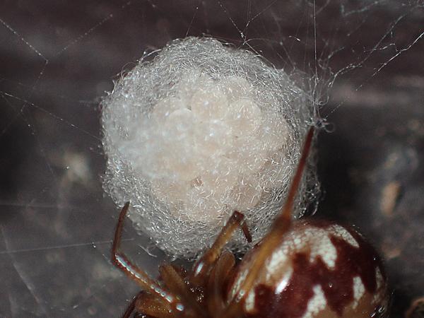 マダラヒメグモの卵のう