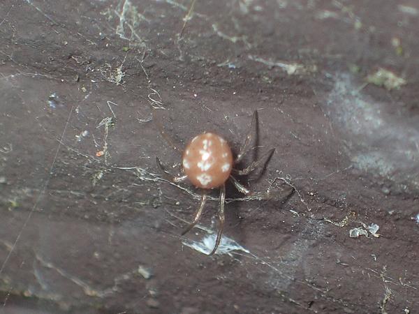 マダラヒメグモ幼体?