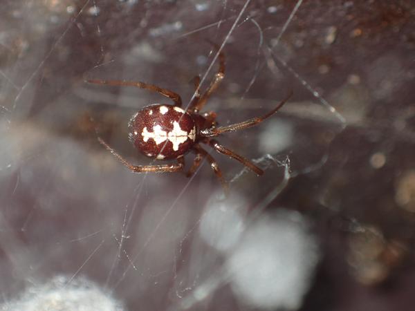 マダラヒメグモ