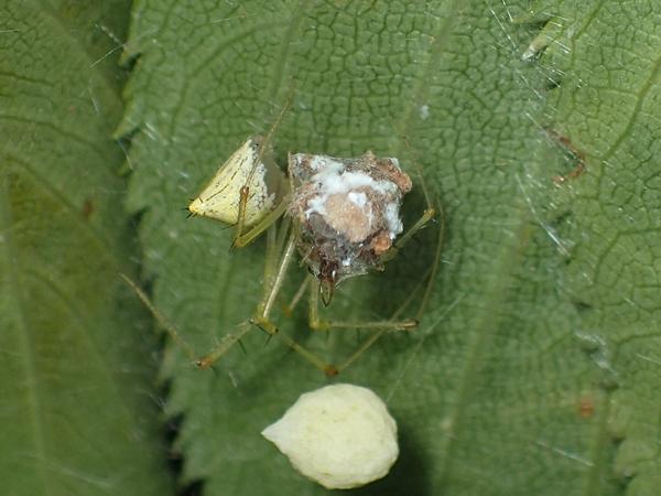 クサカゲロウの幼虫を食べるオダカグモ