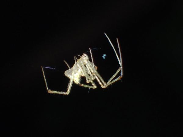 糸にぶら下がって移動するオダカグモ