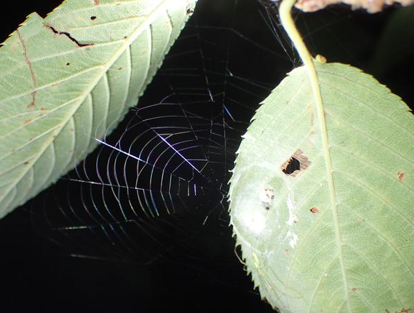 卵のうを守るウロコアシナガグモ