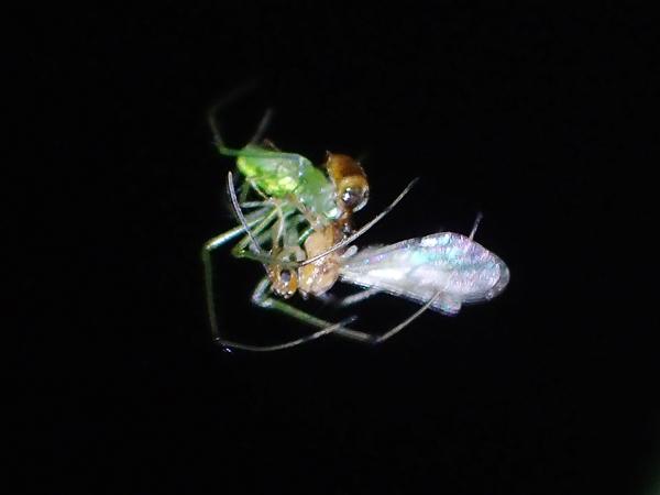 女王アリを捕まえたウロコアシナガグモ