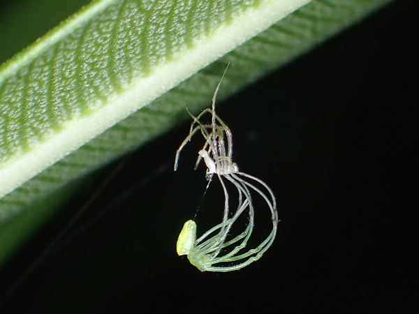 脱皮中のウロコアシナガグモ