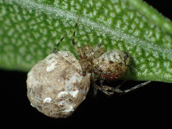 孵化した子グモたちを運ぶムナボシヒメグモ