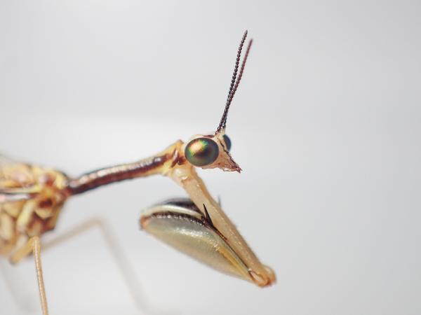 ヒメカマキリモドキの鎌