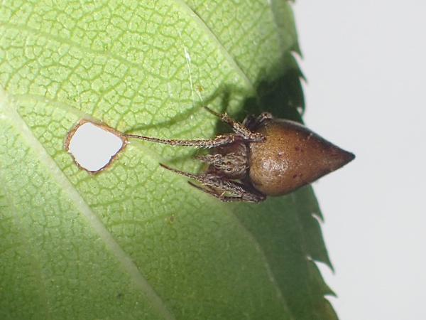 葉裏に隠れるトガリオニグモ