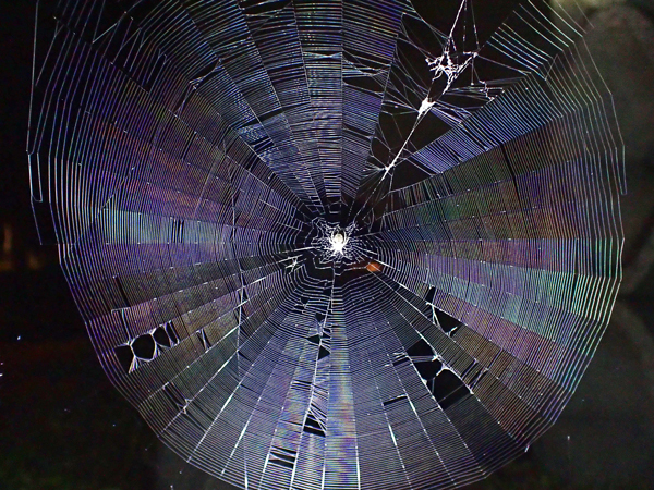 ゲホウグモの網を拡大
