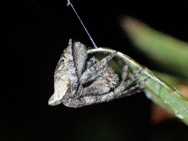 ゲホウグモ