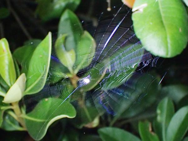 まだ小さいゲホウグモの網