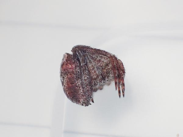 ゲホウグモ幼体