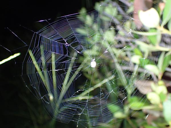 破れが激しいゲホウグモの網